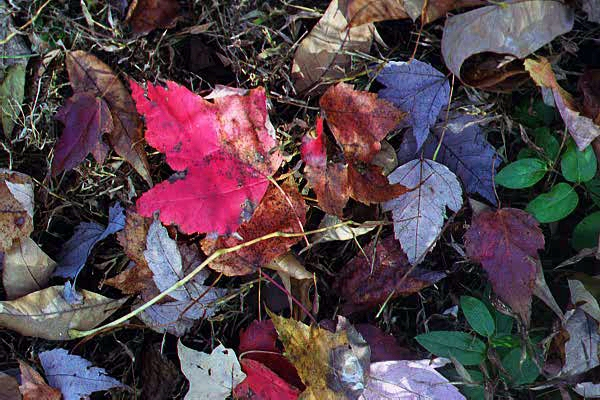 leaves.jpg (195789 bytes)