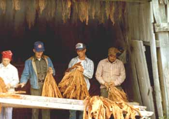 tobacco_stripping.jpg (19269 bytes)